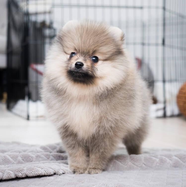 Teacup Pomeranian Dog