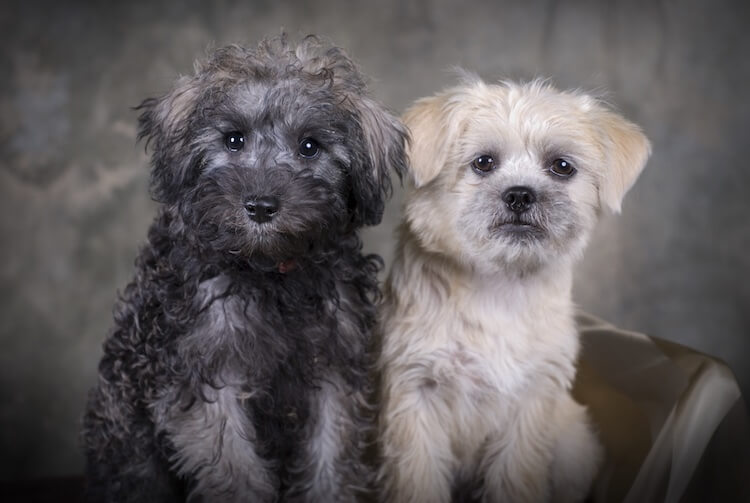 Two Schnoodle Puppies