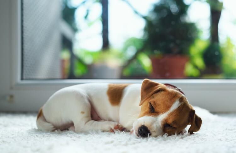 Asleep Puppy