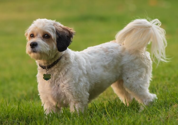 Full Grown Cavachon Dog