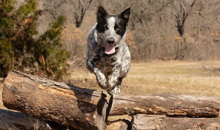Texas Heeler Jumping