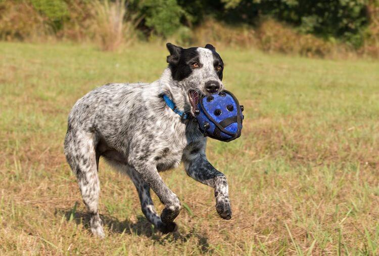 Texas Heeler Playing Fetch