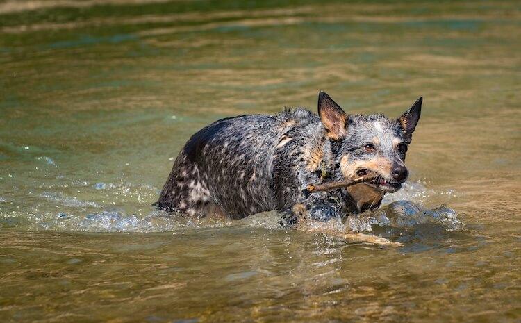Texas Heeler Swimming