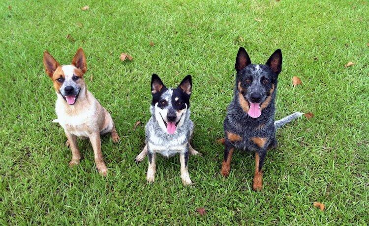 Three Australian Cattle Dogs