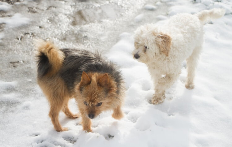Yorkshire Terrier and Cavachon Dogs