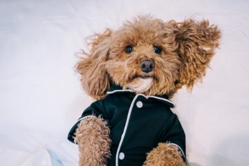Bichon Poodle Mix Information: 7 Must Read Bichpoo Facts