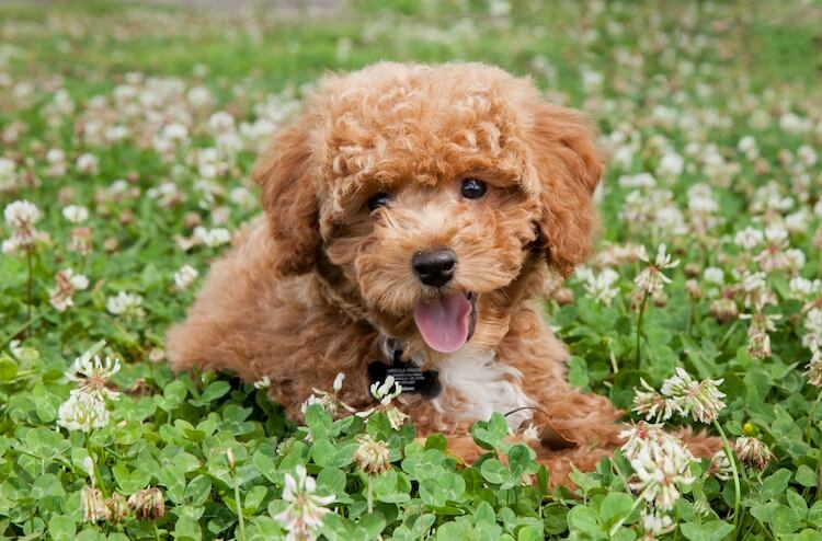 Bichon Poodle laying in a field of dandelions