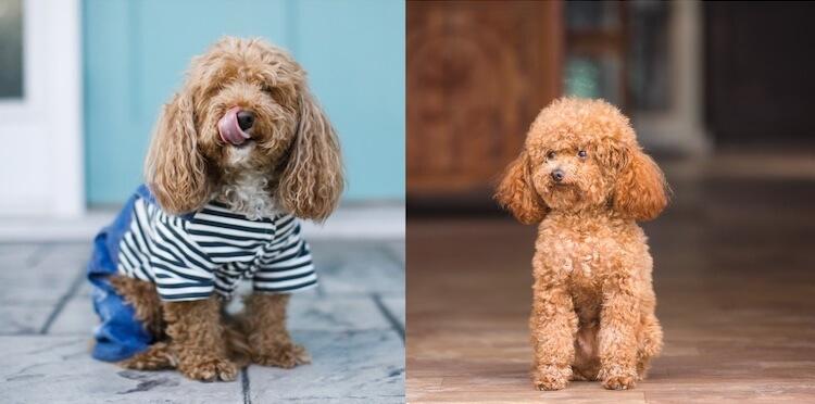 Bichon Poodle vs. Toy Poodle