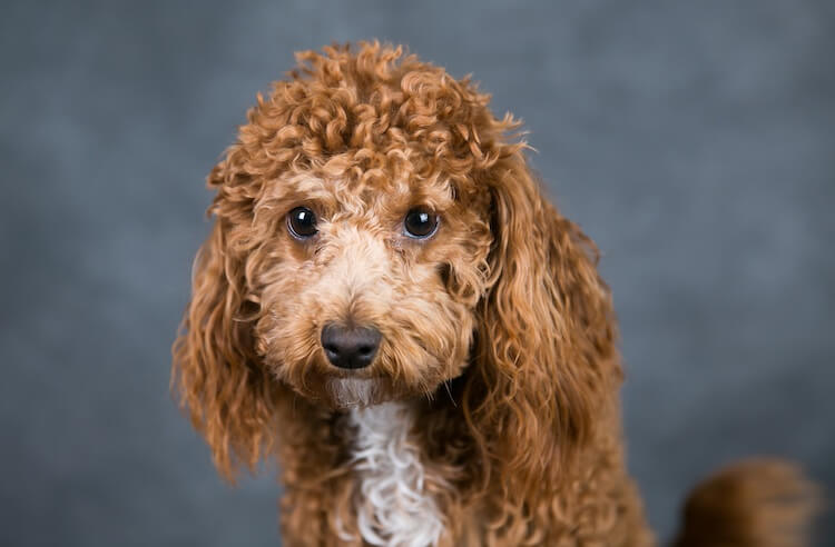 Bichon Poodle with puppy dog eyes