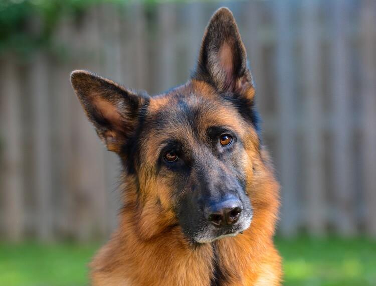 Black and Red German Shepherd