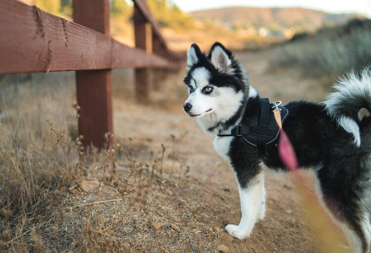 Eager Pomsky pup on a walk