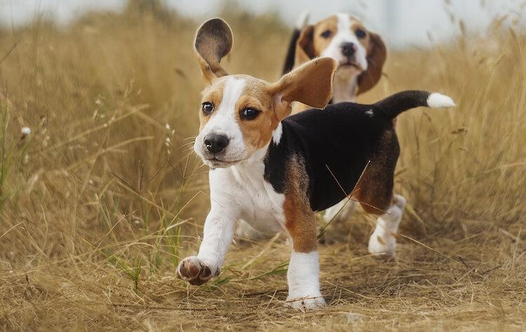 Glove Beagle