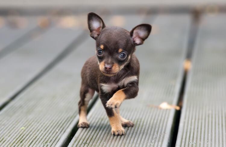 Micro Chihuahua