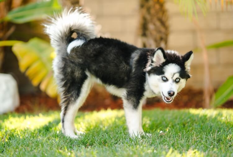 Pomsky dog excitedly eating grass in the backyard