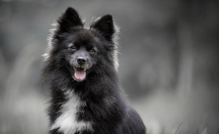 Small Black Pomsky Dog