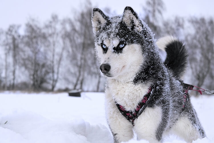 A Husky in the snow