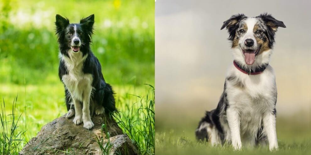 Border Collie vs. Australian Shepherd
