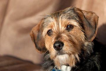 Yorkie Mixes: Top 20 Yorkshire Terrier Mix Breeds