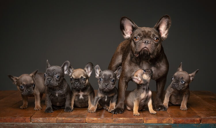 Brown Frenchie Puppies