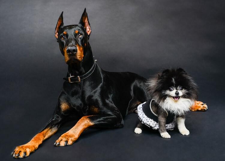 Doberman and Pomeranian