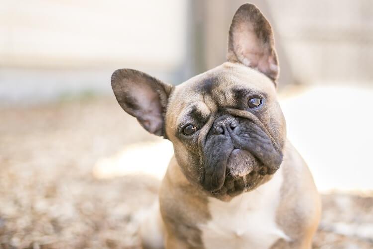 French Bulldog Price Social