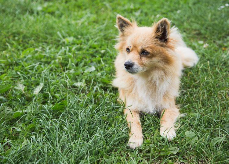 Full grown Pomchi dog
