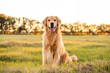 How Much Is A Golden Retriever? Puppy Price & Ownership Costs