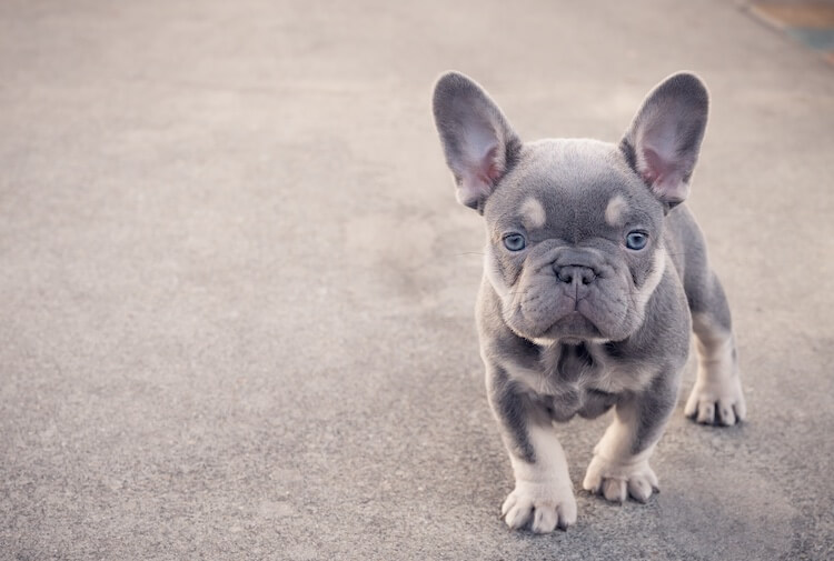 Isabella French Bulldog