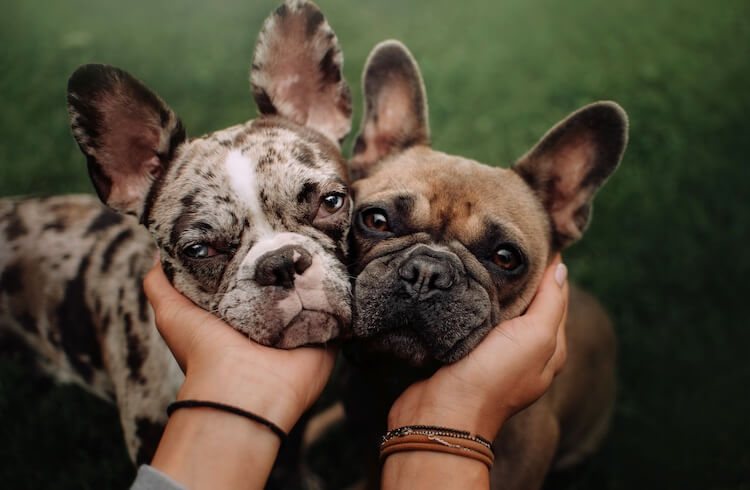 Merle and tan French Bulldogs