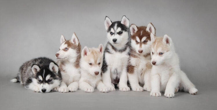 Mini Husky Puppies