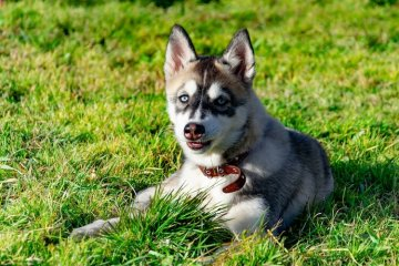 Miniature Husky: Facts About Their Size, Price, Comparison & More