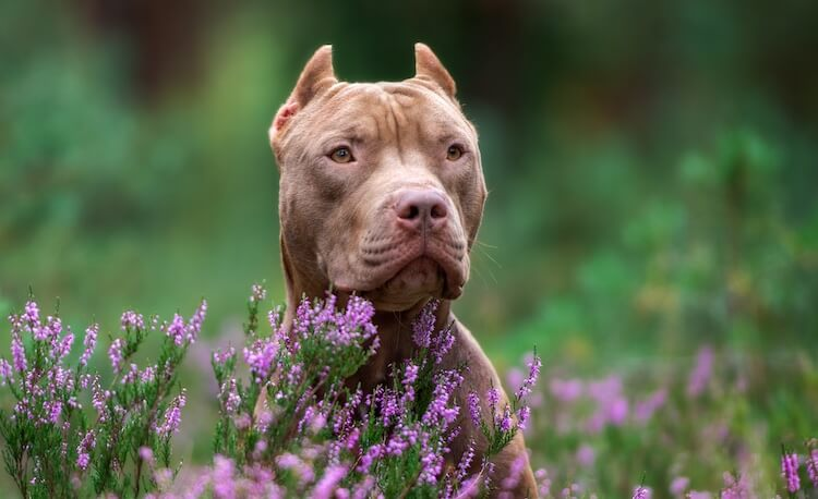 Red Nose Pitbull With Cropped Ears