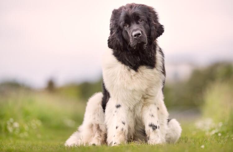 Saint Berdoodle Dog