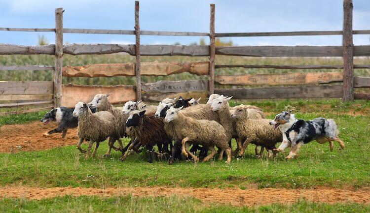 Two Australian Shepherds Herding
