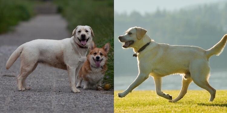 mini labrador vs lab