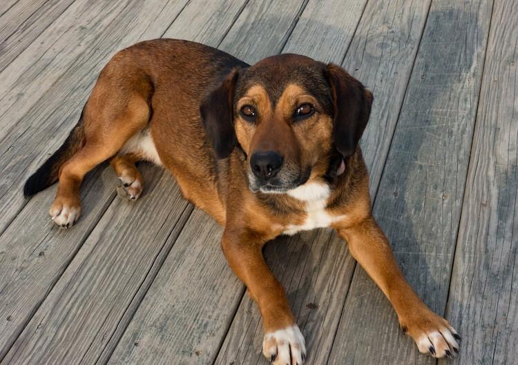Beagle German Shepherd