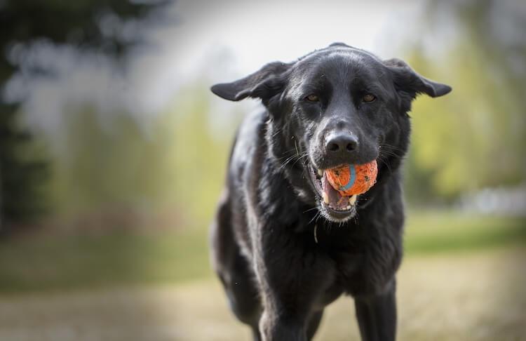 Black Labrador Shepherd