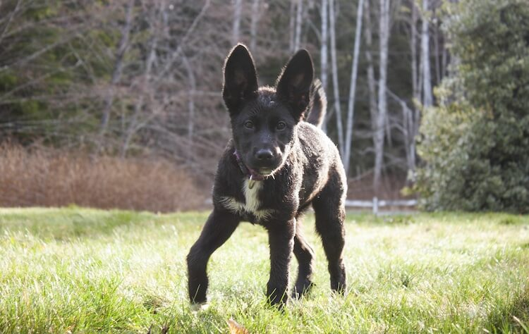 Black Miniature German Shepherd