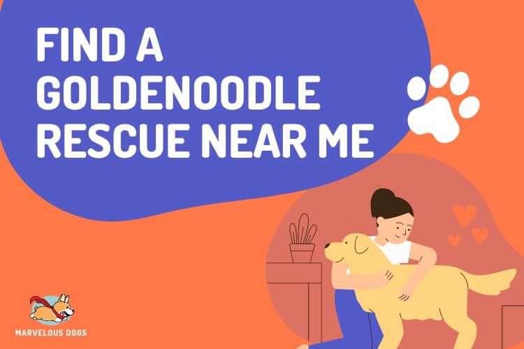 Goldendoodle Rescue