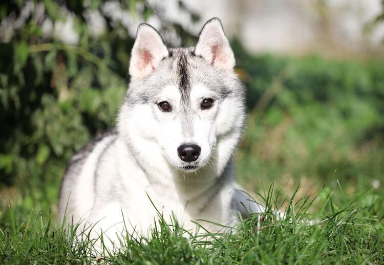 White and Gray Husky