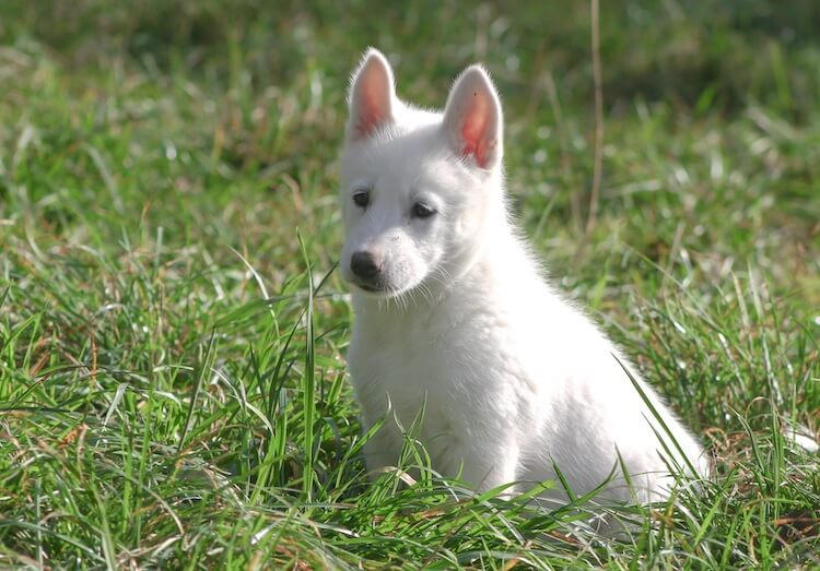 White siberian husky puppy