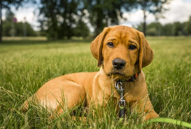 Young Red Labrador Puppy