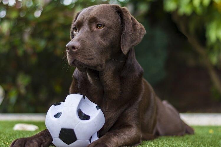 Chocolate Labrador playing