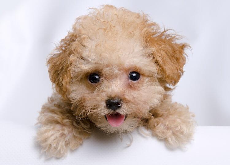 Cute Poodle Dog