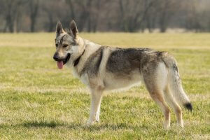 Dogs That Look Like Wolves Social