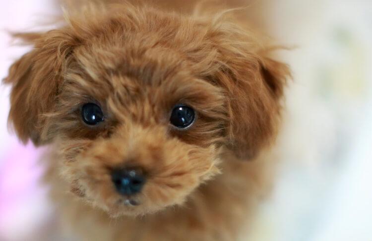 Poodle Face