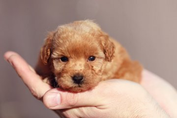 Teacup Poodle Facts, Size, Price, Colors, Breeders & More
