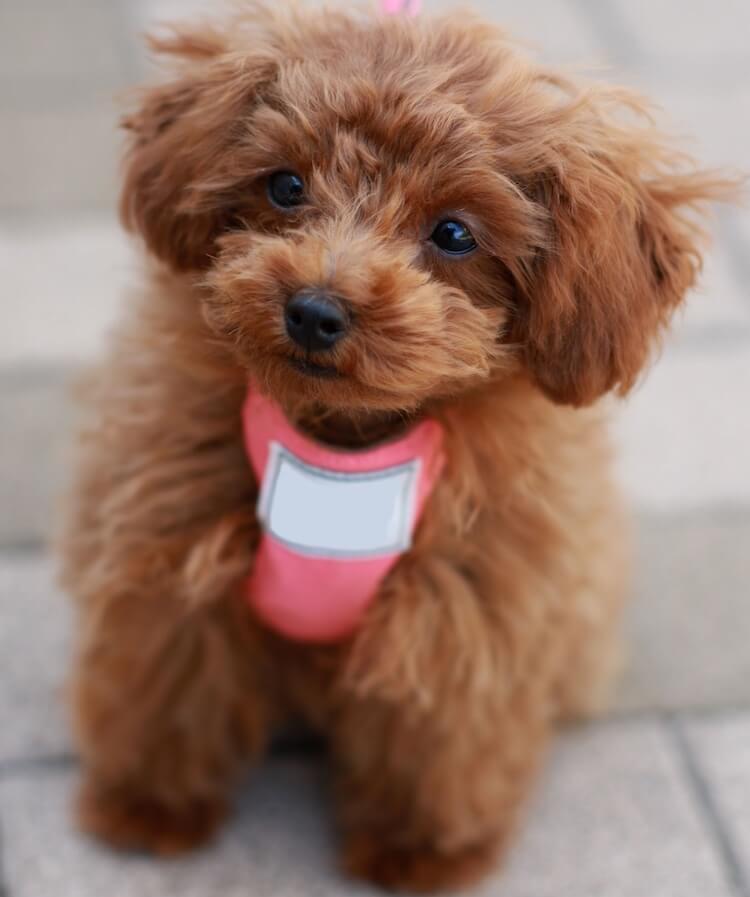 Teacup Poodle on a walk