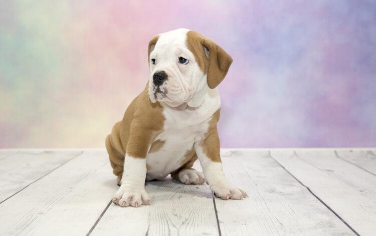 Victorian Bulldog puppy