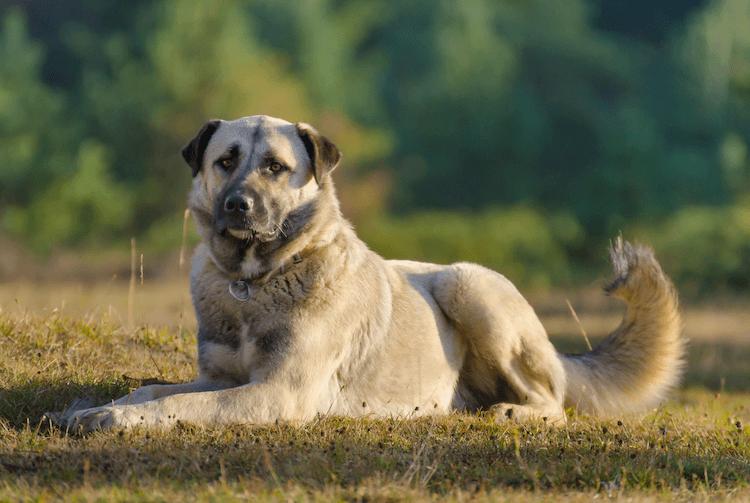 Anatolian Shepherd
